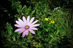 Πορφύρα Osteospermum Στοκ φωτογραφία με δικαίωμα ελεύθερης χρήσης