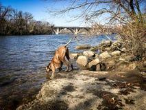 Ποτά σκυλιών από τον ποταμό Στοκ εικόνα με δικαίωμα ελεύθερης χρήσης