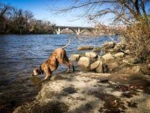 Ποτά σκυλιών από τον ποταμό Στοκ Φωτογραφία