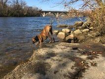 Ποτά σκυλιών από τον ποταμό Στοκ φωτογραφία με δικαίωμα ελεύθερης χρήσης