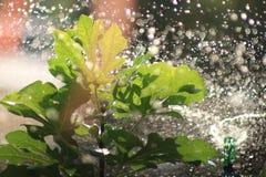 Ποτίζοντας ένα δέντρο σύκων υπαίθριο στην ηλιόλουστη ημέρα Στοκ Φωτογραφίες