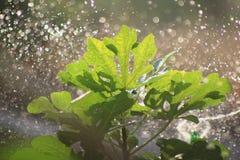 Ποτίζοντας ένα δέντρο σύκων υπαίθριο στην ηλιόλουστη ημέρα Στοκ Φωτογραφία