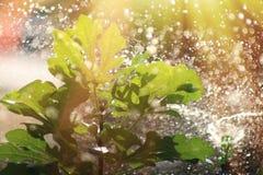 Ποτίζοντας ένα δέντρο σύκων υπαίθριο στην ηλιόλουστη ημέρα Στοκ Εικόνα