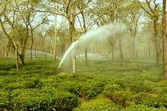 Ποτίζοντας κήπος τσαγιού στοκ εικόνα με δικαίωμα ελεύθερης χρήσης