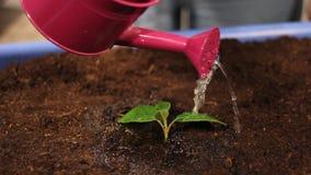Ποτίζοντας μια νεολαία φυτεψτε κοντά επάνω απόθεμα βίντεο