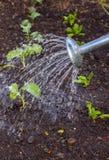 Ποτίζοντας φυτικό μπάλωμα Στοκ φωτογραφία με δικαίωμα ελεύθερης χρήσης