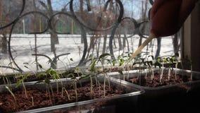 Ποτίστε τα σπορόφυτα ντοματών φιλμ μικρού μήκους