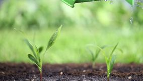 Ποτίστε τις εγκαταστάσεις στον κήπο απόθεμα βίντεο