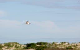 Ποταμογλάρονο με τα ψάρια που πετούν πέρα από την παραλία Nickerson Στοκ εικόνα με δικαίωμα ελεύθερης χρήσης