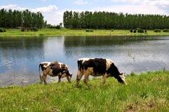 ποταμός βοοειδών Στοκ Εικόνες