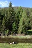 Ποταμός βουνών κοντά στο χωριό Aktash στην περιοχή Ulagan της Δημοκρατίας Altai Δυτική Σιβηρία Ρωσία στοκ εικόνες