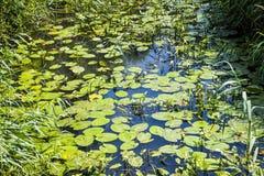 Ποταμός λιμανιών Combe, ανατολικό Σάσσεξ, Αγγλία με τα κίτρινες μαξιλάρια κρίνων και Arrowhead τις εγκαταστάσεις Στοκ Φωτογραφία