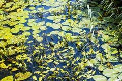 Ποταμός λιμανιών Combe, ανατολικό Σάσσεξ, Αγγλία με τα κίτρινες μαξιλάρια κρίνων και Arrowhead τις εγκαταστάσεις Στοκ Εικόνα