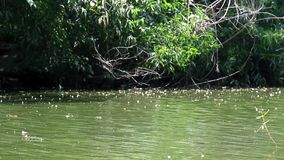 Ποταμός που διατρέχει ήπια με τις φωτεινά αντανακλάσεις και το κύμα κυματισμών της δασικής άποψης της πράσινης ανάπτυξης δέντρων  απόθεμα βίντεο