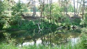 Ποταμός στη forestSunny ημέρα απόθεμα βίντεο