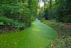 Ποταμός στο δάσος που καλύπτεται με τον πράσινο τάπητα αλγών Στοκ Εικόνες