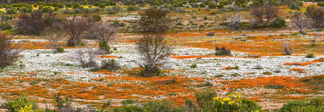 Ποταμός των πορτοκαλιών και άσπρων άγριων λουλουδιών Στοκ φωτογραφία με δικαίωμα ελεύθερης χρήσης