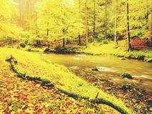 Ποταμός φθινοπώρου Ζωηρόχρωμη όχθη ποταμού φθινοπώρου στο γρήγορο ρεύμα, κάτω από τα χρυσά παλαιά δέντρα Στοκ εικόνες με δικαίωμα ελεύθερης χρήσης