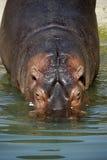 ποταμός hippo Στοκ φωτογραφία με δικαίωμα ελεύθερης χρήσης