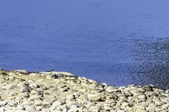 Ποταμός Ramganga και gharial, επίσης γνωστός ως gavial, και ψάρι-κατανάλωση του κροκοδείλου - Jim Corbett National Park, Ινδία στοκ φωτογραφίες με δικαίωμα ελεύθερης χρήσης