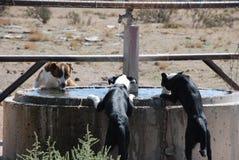 Ποτό τριών σκυλιών Στοκ φωτογραφία με δικαίωμα ελεύθερης χρήσης