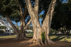 Πουέρτο Ρίκο, θλγραν θλθαναρηα στην Ισπανία - 14 Δεκεμβρίου 2017: Πάρκο με τα όμορφα δέντρα στο Πουέρτο Ρίκο σε θλγραν θλθαναρηα, Στοκ Φωτογραφία