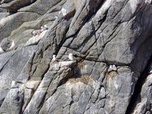 Πουλί αποικιών στους υψηλούς βράχους στον κόλπο Avacha Αναφερόμενος στα πτηνά bazar Χερσόνησος Καμτσάτκα στοκ φωτογραφίες με δικαίωμα ελεύθερης χρήσης