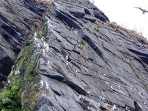 Πουλί αποικιών στους υψηλούς βράχους στον κόλπο Avacha Αναφερόμενος στα πτηνά bazar Χερσόνησος Καμτσάτκα στοκ φωτογραφίες