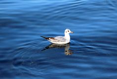Πουλί από τη λίμνη Γενεύη Στοκ φωτογραφία με δικαίωμα ελεύθερης χρήσης