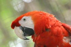 πουλί Βραζιλιάνος arara Στοκ εικόνα με δικαίωμα ελεύθερης χρήσης