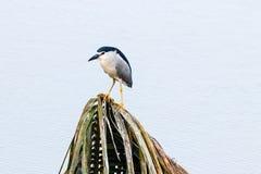 Πουλί γλάρων νερού από το τέλμα στο Κεράλα στοκ φωτογραφίες
