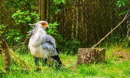 Πουλί γραμματέων στην κινηματογράφηση σε πρώτο πλάνο, πουλί του θηράματος από την Αφρική, τρωτό ζωικό specie στοκ εικόνες