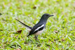 Πουλί η ασιατική κίσσα-Robin ή πουλιά saularis Copsychus της Ταϊλάνδης στοκ φωτογραφίες με δικαίωμα ελεύθερης χρήσης