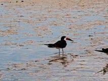 Πουλί θάλασσας στη ρηχή θάλασσα Στοκ Εικόνα