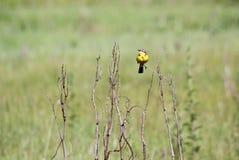 πουλί κίτρινο Στοκ φωτογραφίες με δικαίωμα ελεύθερης χρήσης