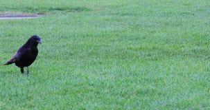 Πουλί κοράκων που περπατά στην πράσινη χλόη απόθεμα βίντεο