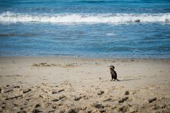 Πουλί κορμοράνων στον ωκεανό στοκ φωτογραφίες με δικαίωμα ελεύθερης χρήσης