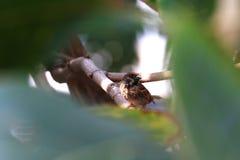 Πουλί, κρύψιμο πουλιών σπουργιτιών στα δασικά δέντρα θάμνων στοκ φωτογραφία
