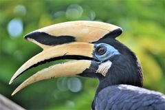 Πουλί Μαλαισία Hornbill στοκ φωτογραφίες