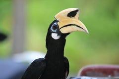 Πουλί Μαλαισία, Teluk Nipah, Μαλαισία Hornbill Στοκ φωτογραφία με δικαίωμα ελεύθερης χρήσης