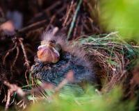 Πουλί μωρών στοκ εικόνα με δικαίωμα ελεύθερης χρήσης