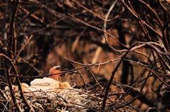 πουλί μωρών anhinga πεινασμένο Στοκ φωτογραφία με δικαίωμα ελεύθερης χρήσης