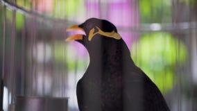 Πουλί ομιλίας Gracula Religiosa αγιοπουλιών Hill σε ένα κλουβί απόθεμα βίντεο
