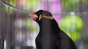 Πουλί ομιλίας Gracula Religiosa αγιοπουλιών Hill σε ένα κλουβί φιλμ μικρού μήκους