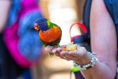 Πουλί παπαγάλων που τρώει τη Apple από το χέρι Στοκ Εικόνες