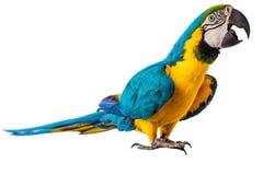 Πουλί παπαγάλων Macaw που απομονώνεται στο λευκό στοκ εικόνα