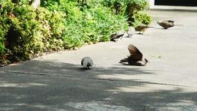 Πουλί περιστεριών που κάνει ηλιοθεραπεία το /Tanning στο επίγειο οκνηρό απόγευμα, άνετος τρόπος ζωής του πουλιού απόθεμα βίντεο