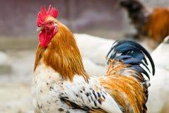 πουλί που αρνείται τη γρίπη s Στοκ φωτογραφία με δικαίωμα ελεύθερης χρήσης