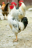 πουλί που αρνείται τη γρίπη s Στοκ Εικόνες