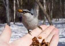 πουλί που παίρνει το άγρι&omi Στοκ φωτογραφία με δικαίωμα ελεύθερης χρήσης